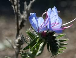 Sinine lill
